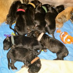 2016 Shiloh Shepherd Puppies - Week 1