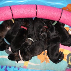 2016 Shiloh Shepherd Puppies - Week 2