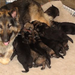 2016 Shiloh Shepherd Puppies - Week 4